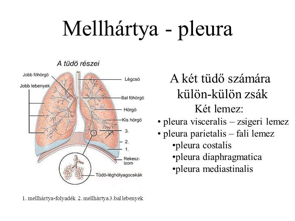 Mellhártya - pleura 1. mellhártya-folyadék 2. mellhártya 3.bal lebenyek A két tüdő számára külön-külön zsák Két lemez: pleura visceralis – zsigeri lem