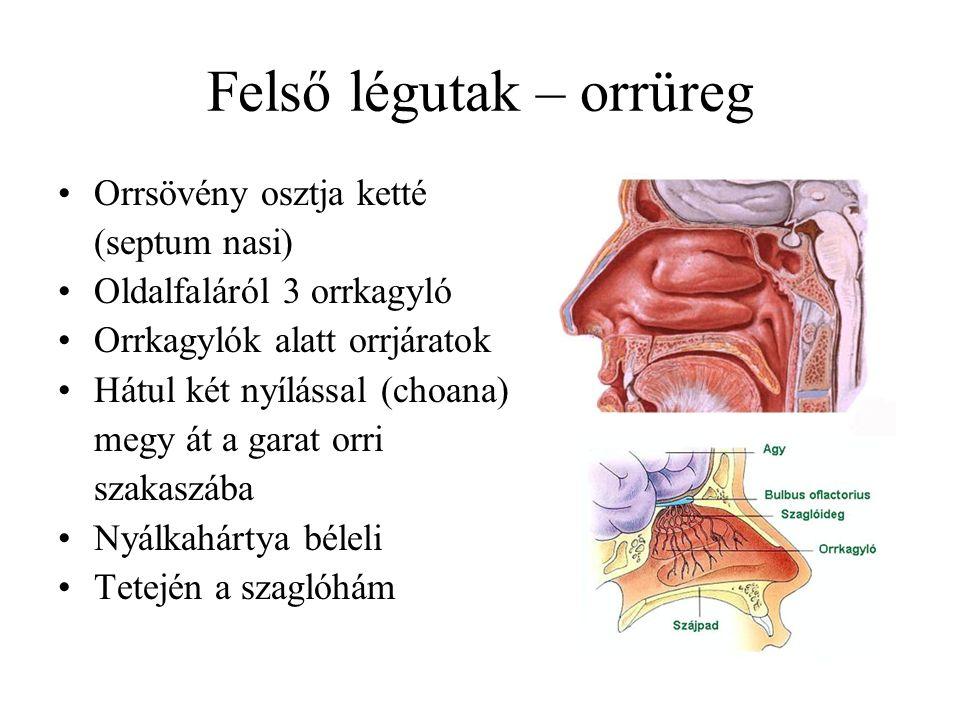 Felső légutak – orrüreg Orrsövény osztja ketté (septum nasi) Oldalfaláról 3 orrkagyló Orrkagylók alatt orrjáratok Hátul két nyílással (choana) megy át