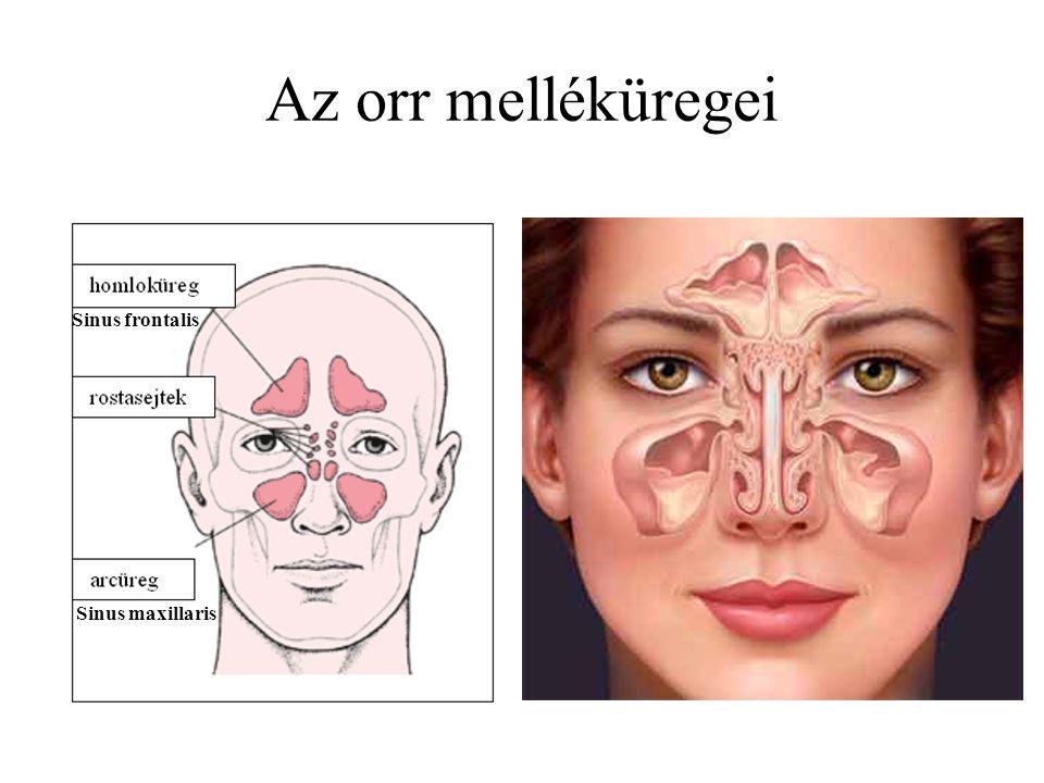 Az orr melléküregei Sinus frontalis Sinus maxillaris