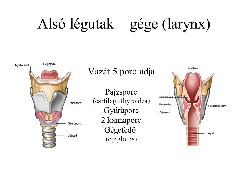Alsó légutak – gége (larynx) Vázát 5 porc adja Pajzsporc (cartilago thyroidea) Gyűrűporc 2 kannaporc Gégefedő (epiglottis)