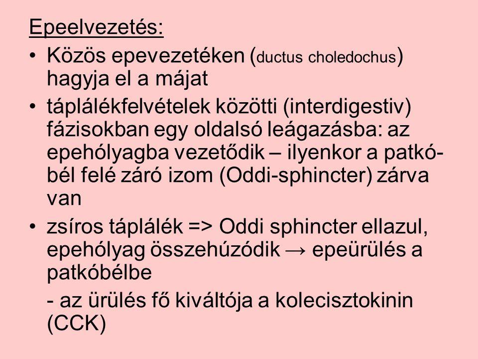 Epeelvezetés: Közös epevezetéken ( ductus choledochus ) hagyja el a májat táplálékfelvételek közötti (interdigestiv) fázisokban egy oldalsó leágazásba: az epehólyagba vezetődik – ilyenkor a patkó- bél felé záró izom (Oddi-sphincter) zárva van zsíros táplálék => Oddi sphincter ellazul, epehólyag összehúzódik → epeürülés a patkóbélbe - az ürülés fő kiváltója a kolecisztokinin (CCK)