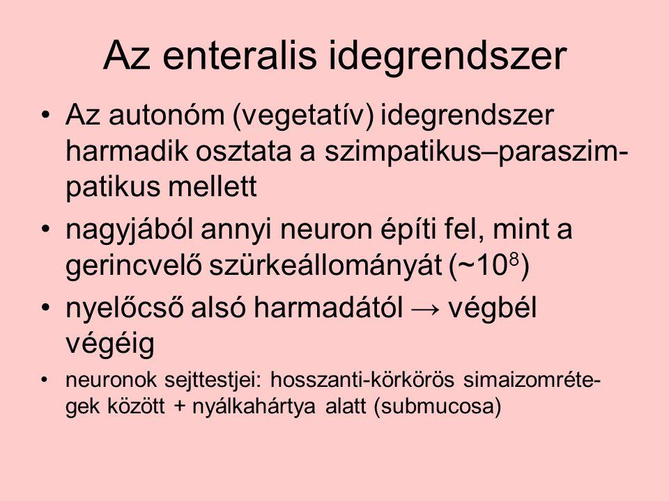 Az enteralis idegrendszer Az autonóm (vegetatív) idegrendszer harmadik osztata a szimpatikus–paraszim- patikus mellett nagyjából annyi neuron építi fel, mint a gerincvelő szürkeállományát (~10 8 ) nyelőcső alsó harmadától → végbél végéig neuronok sejttestjei: hosszanti-körkörös simaizomréte- gek között + nyálkahártya alatt (submucosa)