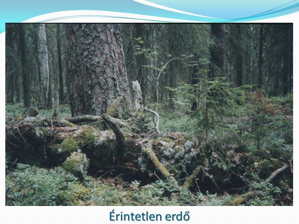 Érintetlen erdő