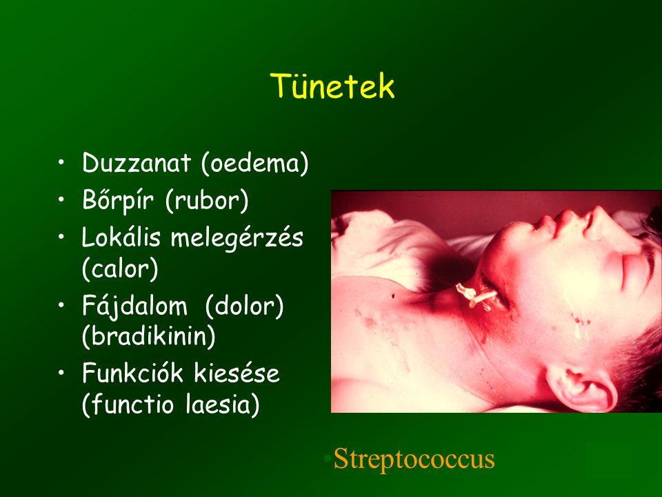 11 Endothel-leukocyta adhézió és diapedezis