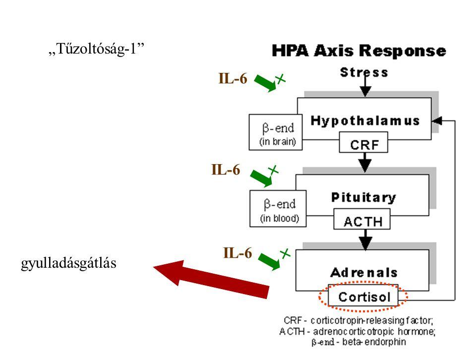 18 A központi idegrendszer (CNS) akutfázis-reakciója Gyulladásos citokinek  hypothalamus –Láz –Étvágytalanság –Hipofízis -mellékvese (HPA) Glukokorti