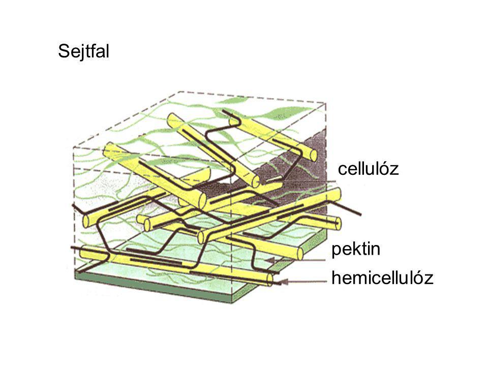 cellulóz pektin hemicellulóz Sejtfal