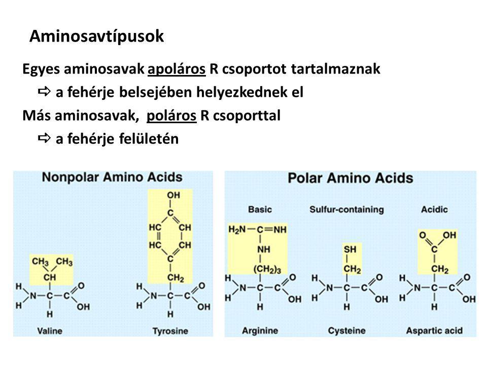 Aminosavtípusok Egyes aminosavak apoláros R csoportot tartalmaznak  a fehérje belsejében helyezkednek el Más aminosavak, poláros R csoporttal  a fehérje felületén