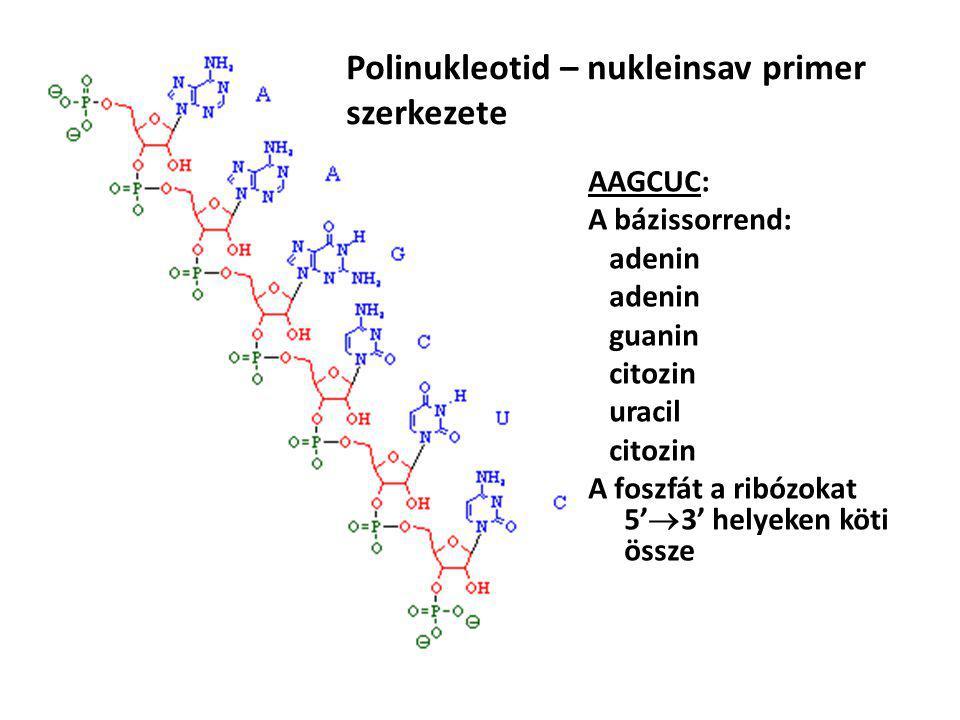 Polinukleotid – nukleinsav primer szerkezete AAGCUC: A bázissorrend: adenin guanin citozin uracil citozin A foszfát a ribózokat 5'  3' helyeken köti össze