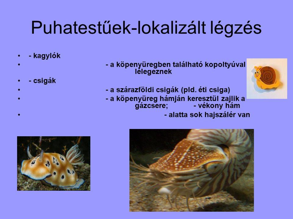 Puhatestűek-lokalizált légzés - kagylók - a köpenyüregben található kopoltyúval lélegeznek - csigák - a szárazföldi csigák (pld.