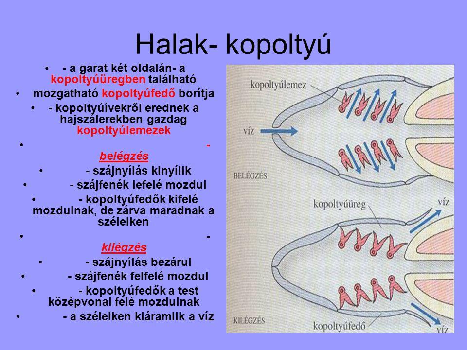 Halak- kopoltyú - a garat két oldalán- a kopoltyúüregben található mozgatható kopoltyúfedő borítja - kopoltyúívekről erednek a hajszálerekben gazdag kopoltyúlemezek - belégzés - szájnyílás kinyílik - szájfenék lefelé mozdul - kopoltyúfedők kifelé mozdulnak, de zárva maradnak a széleiken - kilégzés - szájnyílás bezárul - szájfenék felfelé mozdul - kopoltyúfedők a test középvonal felé mozdulnak - a széleiken kiáramlik a víz