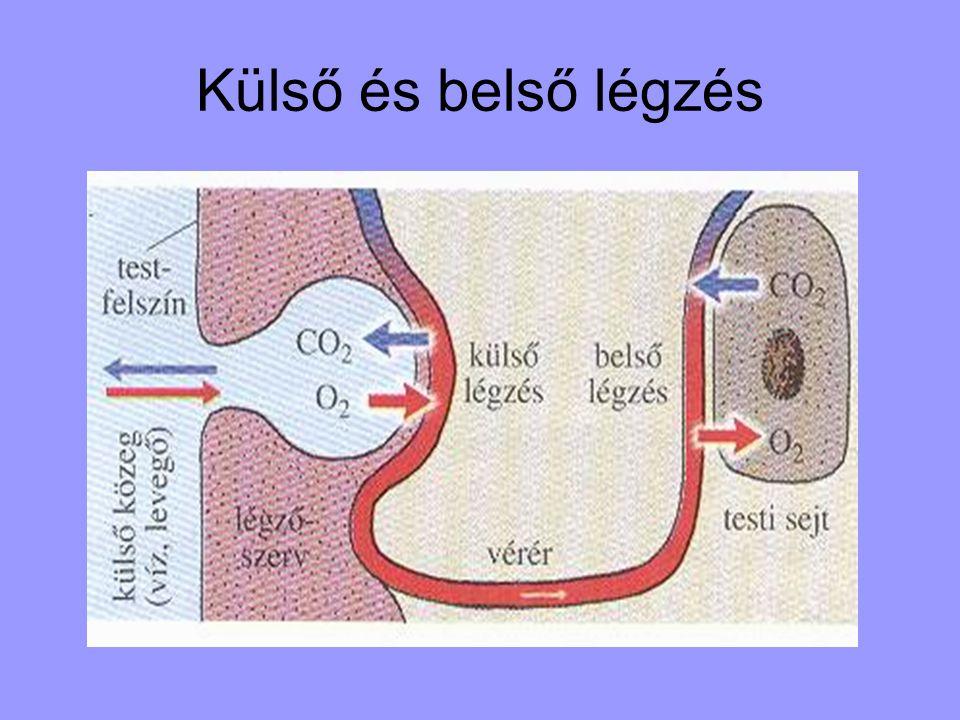 A légzés mechanizmusa Alapja ; diffúzió A belélegzett levegőben több az O2, kisebb a CO2 koncentrációja mint a légzőfelület ereiben levő vérben.