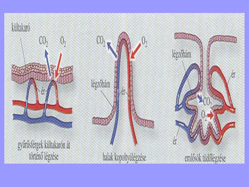 Szivacsok – diffúz légzése - a szivacsok légzése - diffúz légzés - a testével érintkező vízből szűri ki az oxigént - testfelszín (fedősejtek, likacssejtek) - űrbél (galléros-ostoros sejtek)