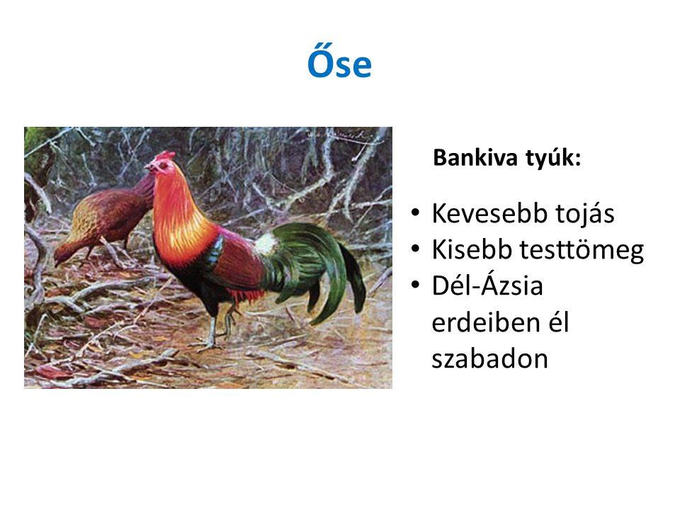 Őse Bankiva tyúk: Kevesebb tojás Kisebb testtömeg Dél-Ázsia erdeiben él szabadon