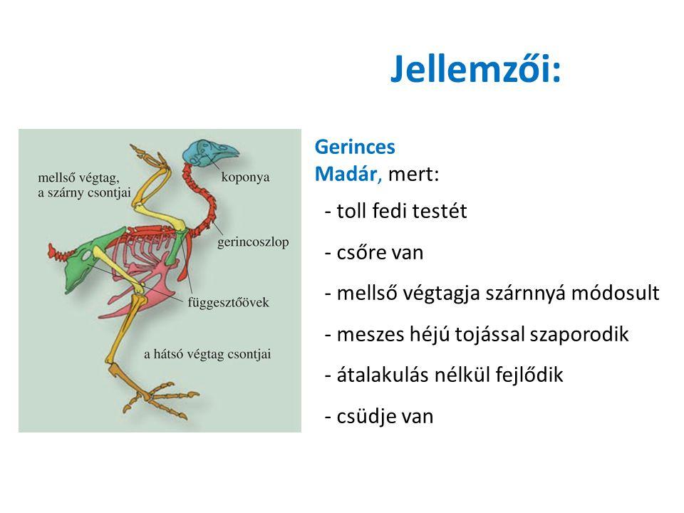 Tollak (szaruból) Fedőtoll: erősebb, nagyobb, a szárnyán és a farkán hosszabb Feladata –védelem Pehelytoll: kisebb, lazább szerkezetű Feladata- hőszigetelés