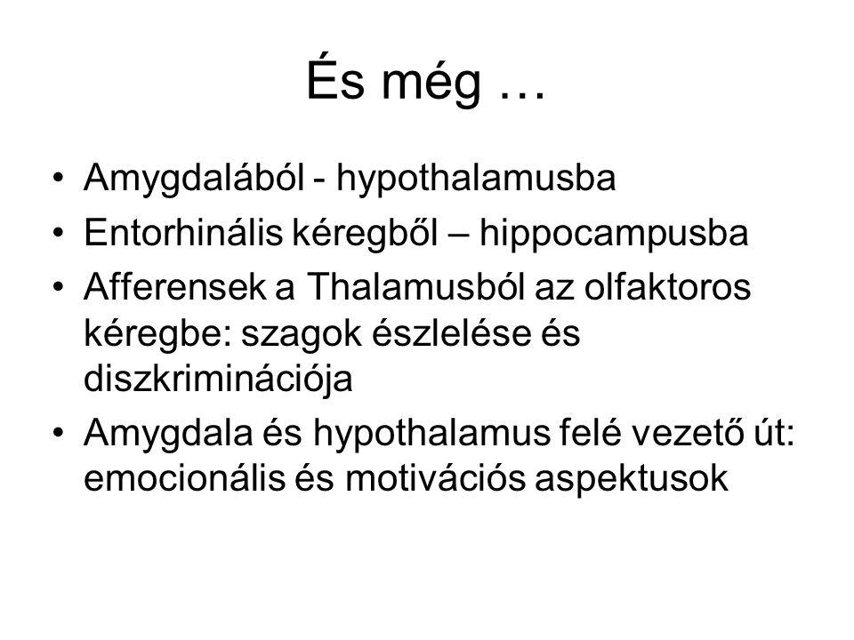 És még … Amygdalából - hypothalamusba Entorhinális kéregből – hippocampusba Afferensek a Thalamusból az olfaktoros kéregbe: szagok észlelése és diszkriminációja Amygdala és hypothalamus felé vezető út: emocionális és motivációs aspektusok
