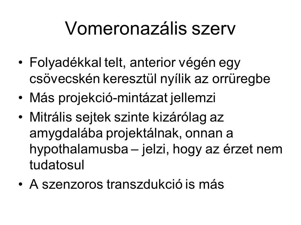 Vomeronazális szerv Folyadékkal telt, anterior végén egy csövecskén keresztül nyílik az orrüregbe Más projekció-mintázat jellemzi Mitrális sejtek szinte kizárólag az amygdalába projektálnak, onnan a hypothalamusba – jelzi, hogy az érzet nem tudatosul A szenzoros transzdukció is más