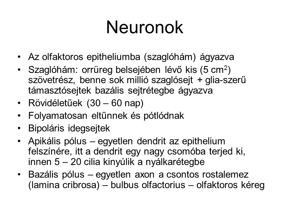 Neuronok Az olfaktoros epitheliumba (szaglóhám) ágyazva Szaglóhám: orrüreg belsejében lévő kis (5 cm 2 ) szövetrész, benne sok millió szaglósejt + glia-szerű támasztósejtek bazális sejtrétegbe ágyazva Rövidéletűek (30 – 60 nap) Folyamatosan eltűnnek és pótlódnak Bipoláris idegsejtek Apikális pólus – egyetlen dendrit az epithelium felszínére, itt a dendrit egy nagy csomóba terjed ki, innen 5 – 20 cilia kinyúlik a nyálkarétegbe Bazális pólus – egyetlen axon a csontos rostalemez (lamina cribrosa) – bulbus olfactorius – olfaktoros kéreg