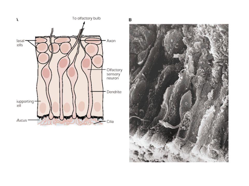 Cilia Szagdetekcióra specializált Specifikus receptorai vannak – transzdukciós gépezet, mely a szenzoros ingerek erősítésére és az AP generálására szolgál Mucus (nyálka): a támasztósejtek és a Bowman mirigyek választják ki –Oldékony szagkötő proteineket tartalmaz, melyet egy mirigy választ ki – ezek a proteinek szerepet játszhatnak a szagkoncentrációban és annak eltávolításában