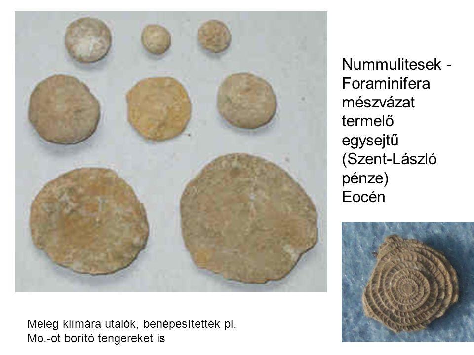 Nummulitesek - Foraminifera mészvázat termelő egysejtű (Szent-László pénze) Eocén Meleg klímára utalók, benépesítették pl. Mo.-ot borító tengereket is