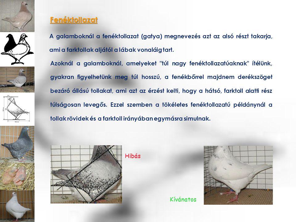 Fenéktollazat A galamboknál a fenéktollazat (gatya) megnevezés azt az alsó részt takarja, ami a farktollak aljától a lábak vonaláig tart. Hibás Kívána