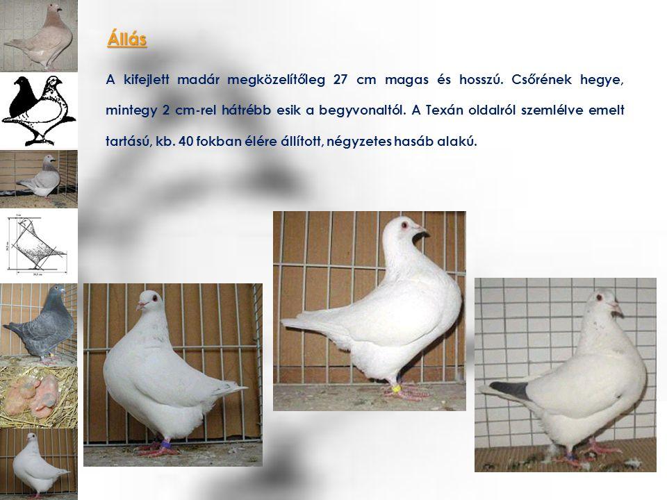 Testsúly A fiatal madarak alsó súlyhatára 750 gr.Az öreg madarak alsó súlyhatára 800 gr.