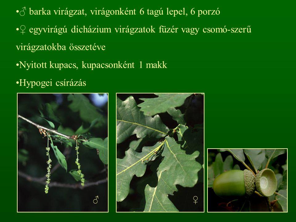 ♂ barka virágzat, virágonként 6 tagú lepel, 6 porzó ♀ egyvirágú dicházium virágzatok füzér vagy csomó-szerű virágzatokba összetéve Nyitott kupacs, kup
