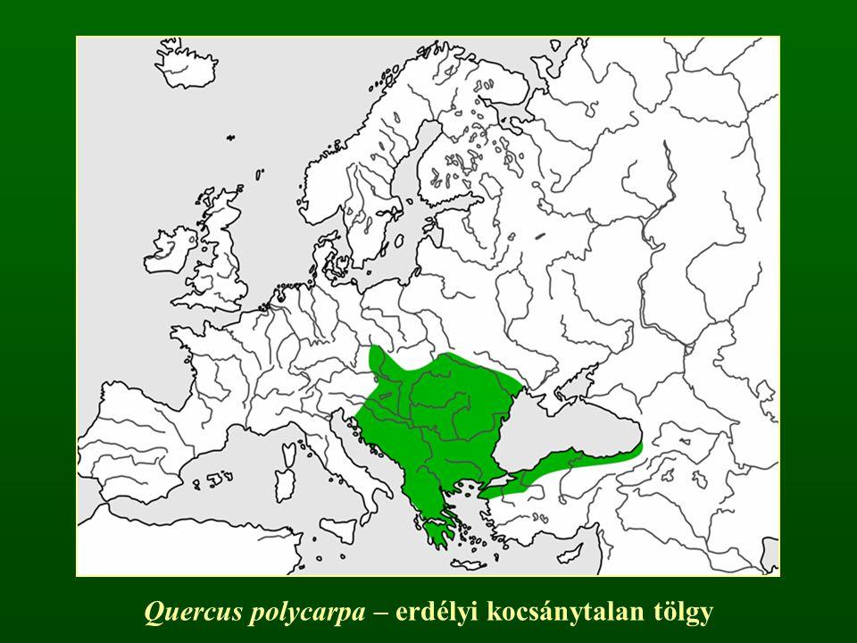 Quercus polycarpa – erdélyi kocsánytalan tölgy