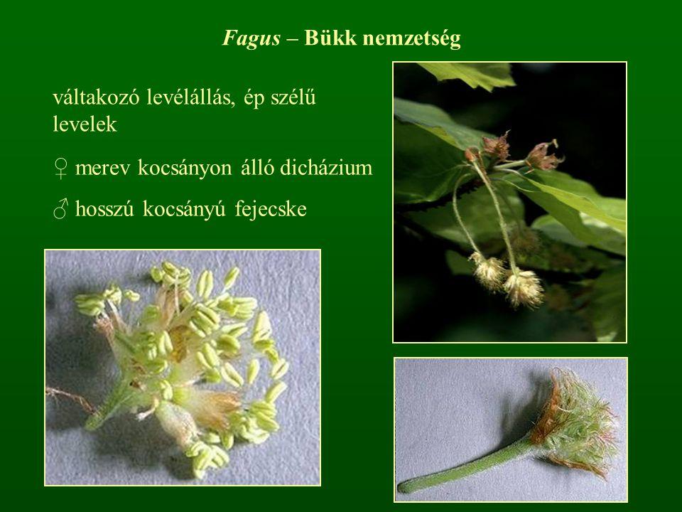 ♀ merev kocsányon álló dicházium ♂ hosszú kocsányú fejecske Fagus – Bükk nemzetség váltakozó levélállás, ép szélű levelek