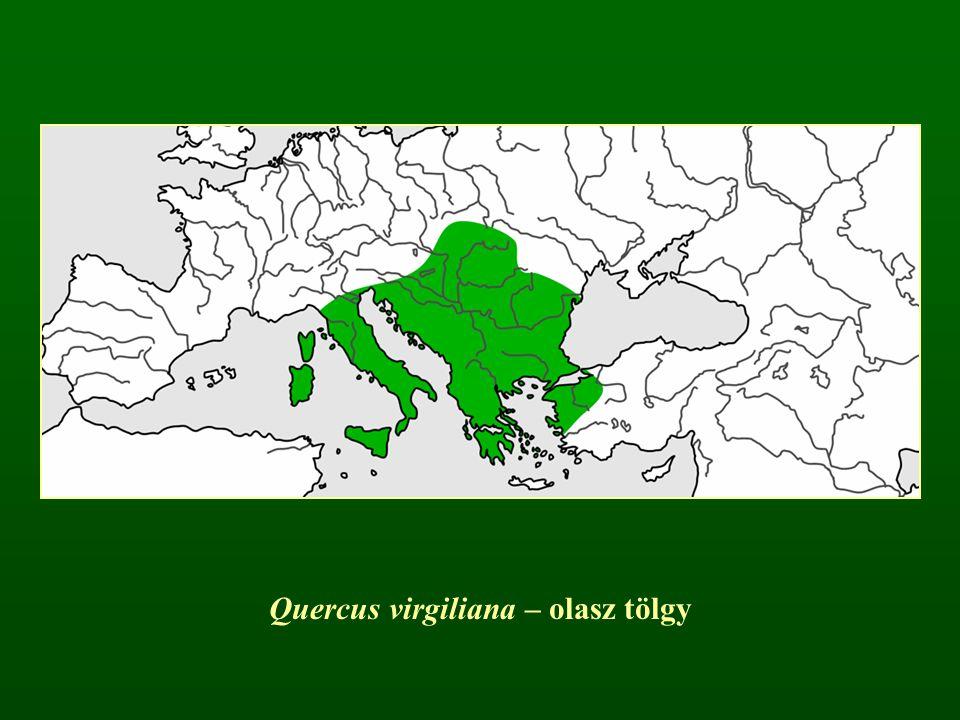 Quercus virgiliana – olasz tölgy