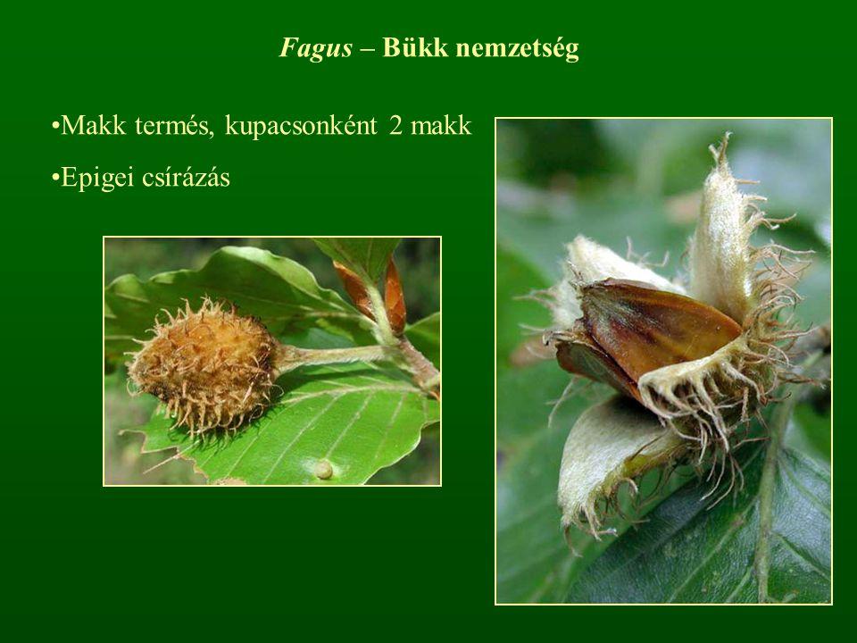 Fagus – Bükk nemzetség Makk termés, kupacsonként 2 makk Epigei csírázás