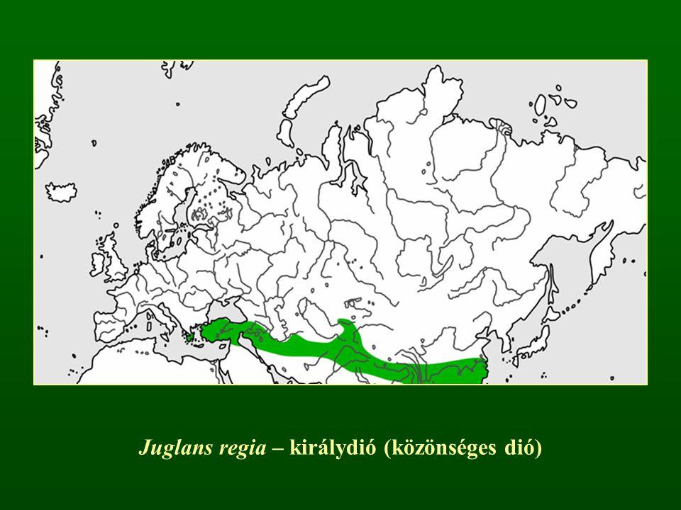 Juglans regia – királydió (közönséges dió)