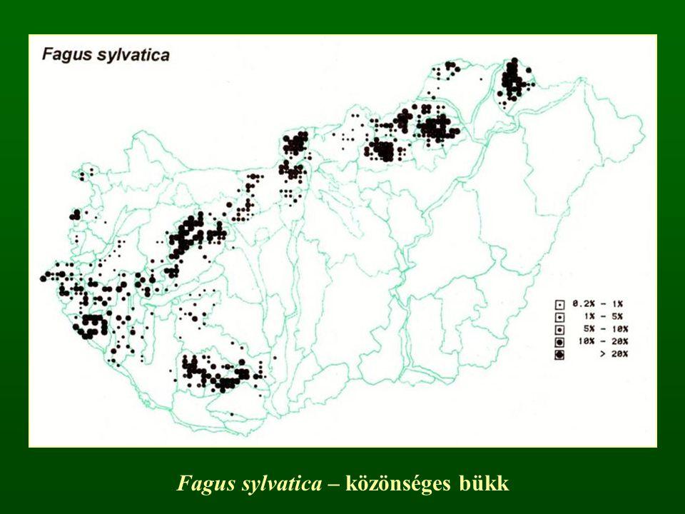 Juglans nigra – fekete dió