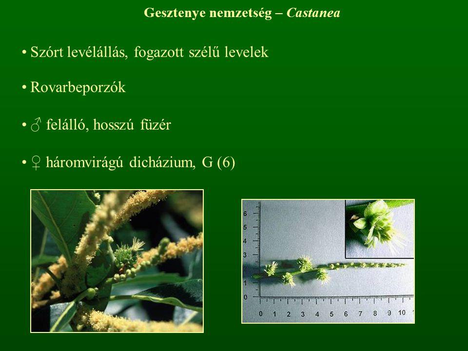 Gesztenye nemzetség – Castanea Szórt levélállás, fogazott szélű levelek Rovarbeporzók ♂ felálló, hosszú füzér ♀ háromvirágú dicházium, G (6)