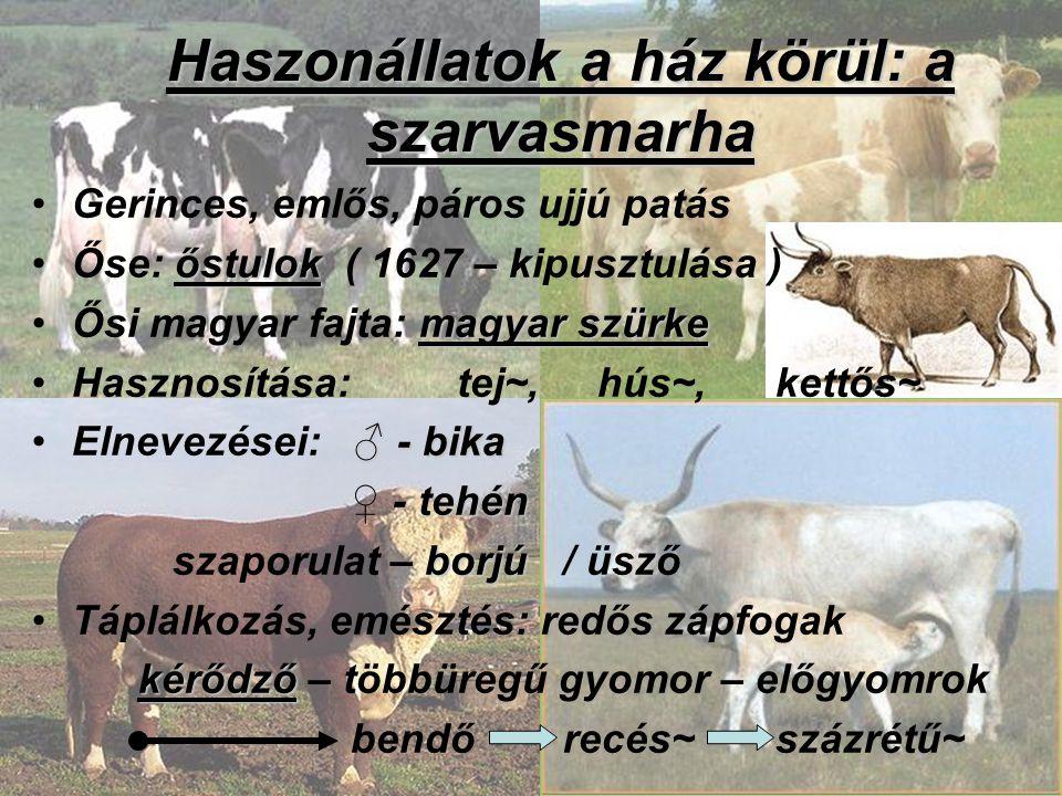 Haszonállatok a ház körül: a szarvasmarha Gerinces, emlős, páros ujjú patás őstulokŐse: őstulok ( 1627 – kipusztulása ) magyar szürkeŐsi magyar fajta: