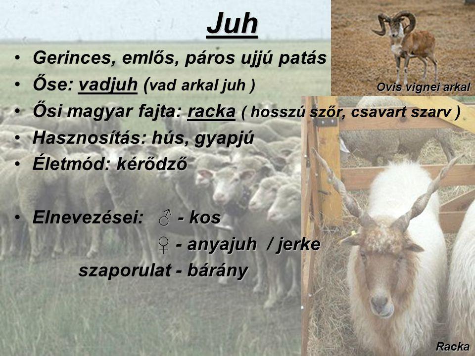 Juh Gerinces, emlős, páros ujjú patás vadjuhŐse: vadjuh ( vad arkal juh ) rackaŐsi magyar fajta: racka ( hosszú szőr, csavart szarv ) Hasznosítás: hús