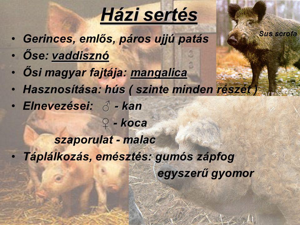Házi sertés Gerinces, emlős, páros ujjú patás vaddisznóŐse: vaddisznó mangalicaŐsi magyar fajtája: mangalica húsHasznosítása: hús ( szinte minden rész