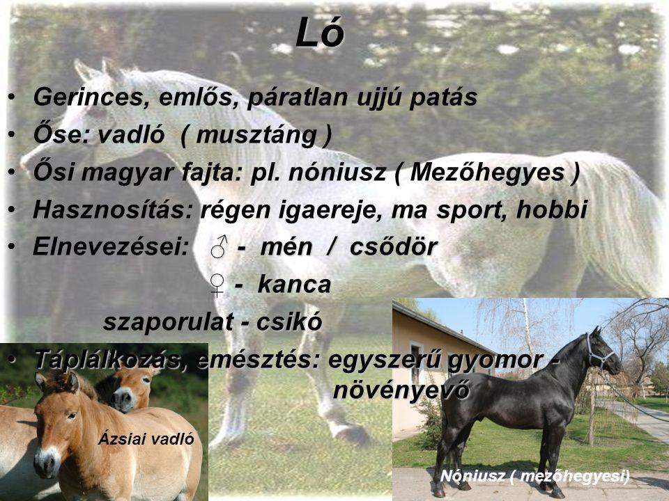 Ló Gerinces, emlős, páratlan ujjú patás Őse: vadló ( musztáng ) Ősi magyar fajta: pl. nóniusz ( Mezőhegyes ) Hasznosítás: régen igaereje, ma sport, ho