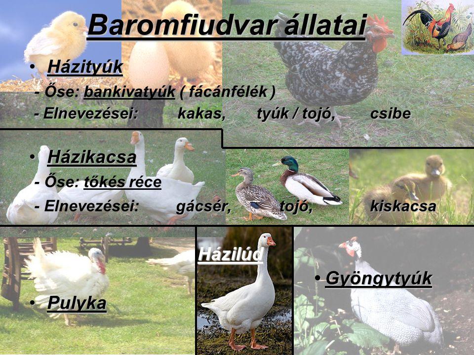 Baromfiudvar állatai HázityúkHázityúk - Őse: bankivatyúk ( fácánfélék ) - Elnevezései: kakas, tyúk / tojó, csibe - Elnevezései: kakas, tyúk / tojó, cs
