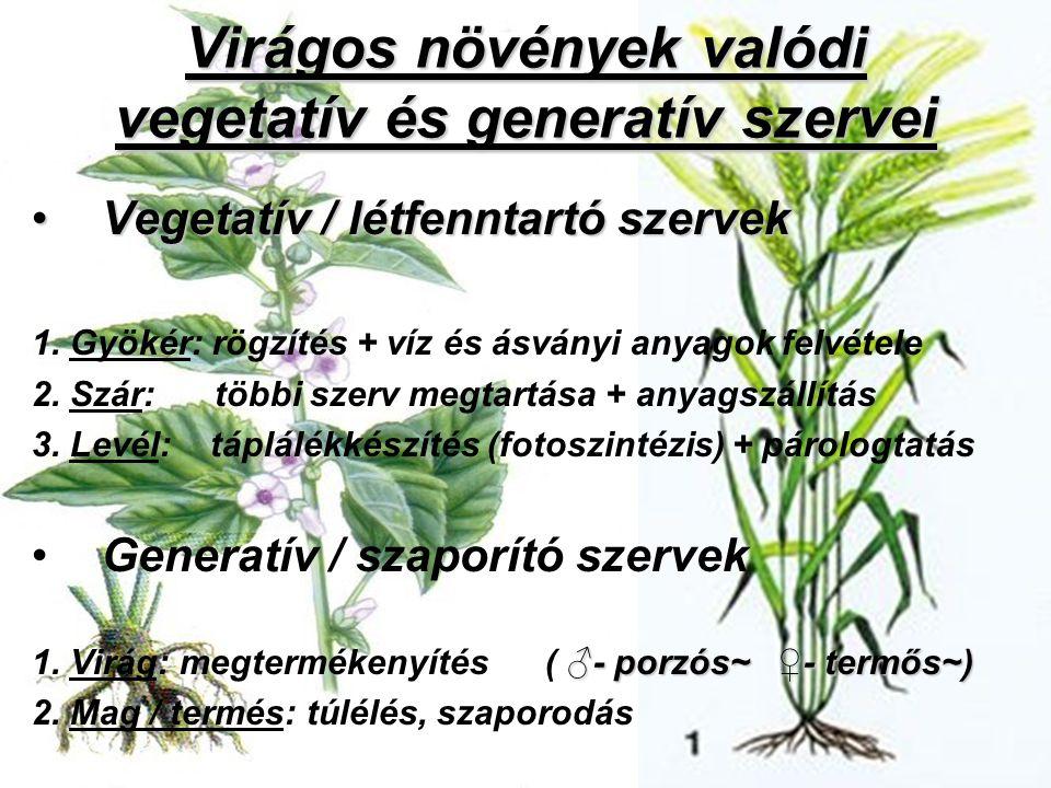 Virágos növények valódi vegetatív és generatív szervei Vegetatív / létfenntartó szervekVegetatív / létfenntartó szervek 1. Gyökér: rögzítés + víz és á