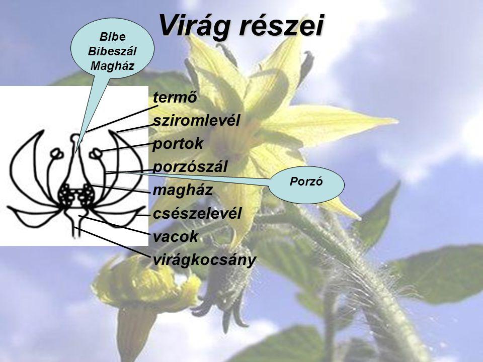 Virág részei termő sziromlevél portok porzószál magház csészelevél vacok virágkocsány Bibe Bibeszál Magház Porzó