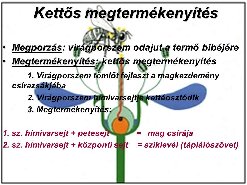 Kettős megtermékenyítés Megporzás:Megporzás: virágporszem odajut a termő bibéjére Megtermékenyítés:Megtermékenyítés: kettős megtermékenyítés 1. Virágp