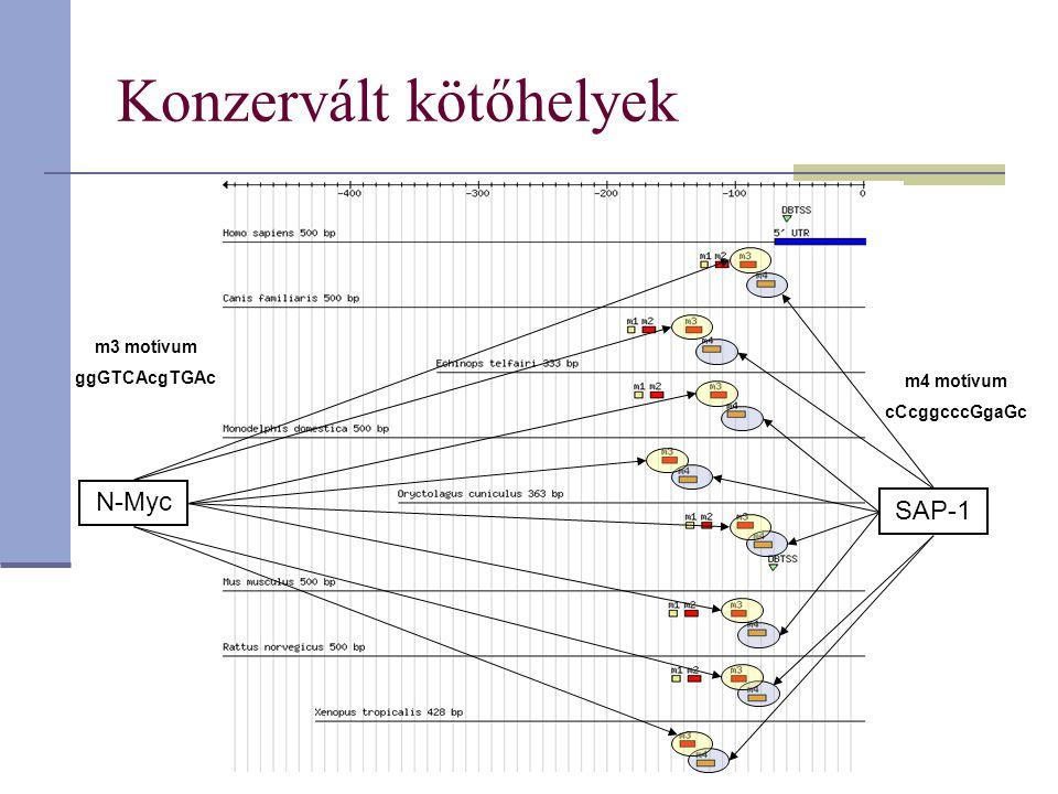 Konzervált kötőhelyek SAP-1 N-Myc m3 motívum ggGTCAcgTGAc m4 motívum cCcggcccGgaGc