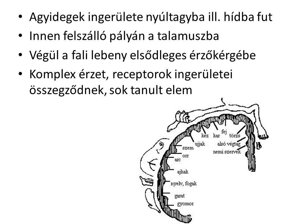 Agyidegek ingerülete nyúltagyba ill. hídba fut Innen felszálló pályán a talamuszba Végül a fali lebeny elsődleges érzőkérgébe Komplex érzet, receptoro