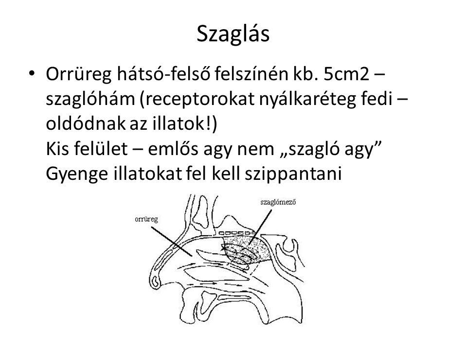 """Szaglás Orrüreg hátsó-felső felszínén kb. 5cm2 – szaglóhám (receptorokat nyálkaréteg fedi – oldódnak az illatok!) Kis felület – emlős agy nem """"szagló"""