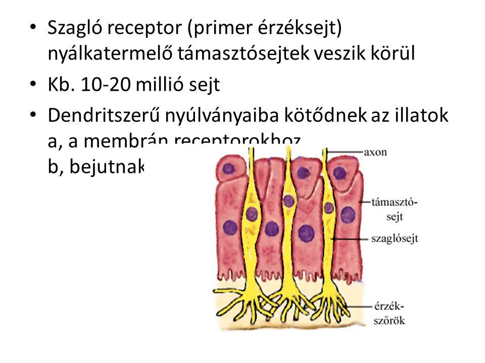 Szagló receptor (primer érzéksejt) nyálkatermelő támasztósejtek veszik körül Kb.