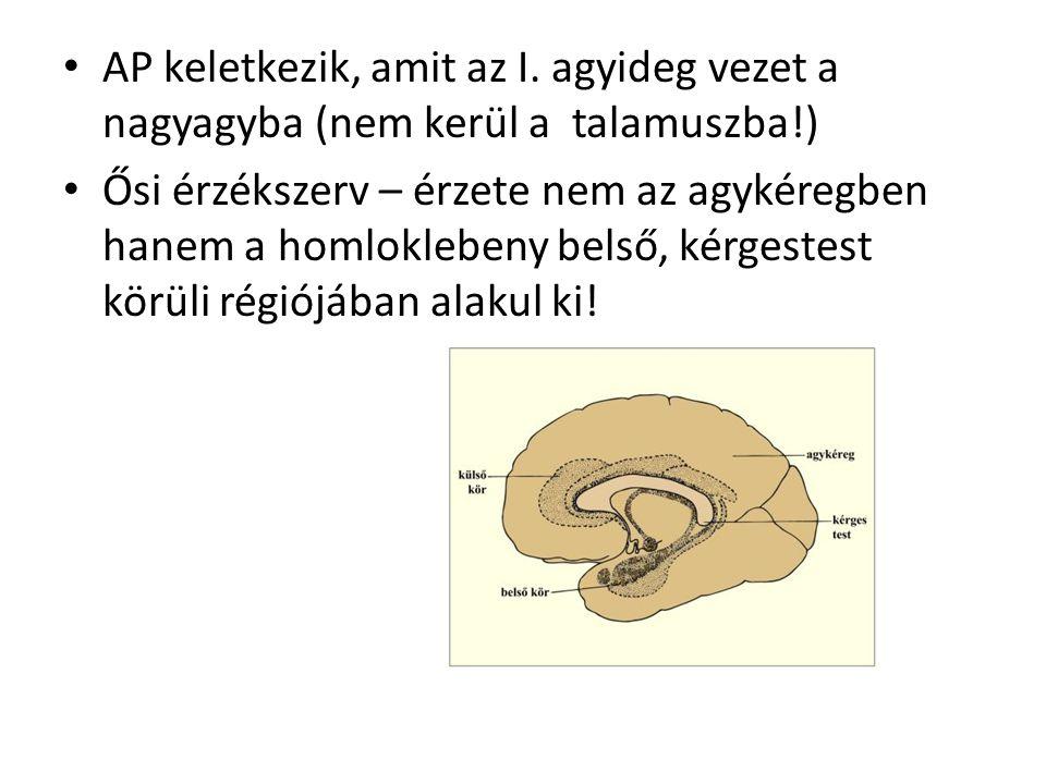 AP keletkezik, amit az I. agyideg vezet a nagyagyba (nem kerül a talamuszba!) Ősi érzékszerv – érzete nem az agykéregben hanem a homloklebeny belső, k