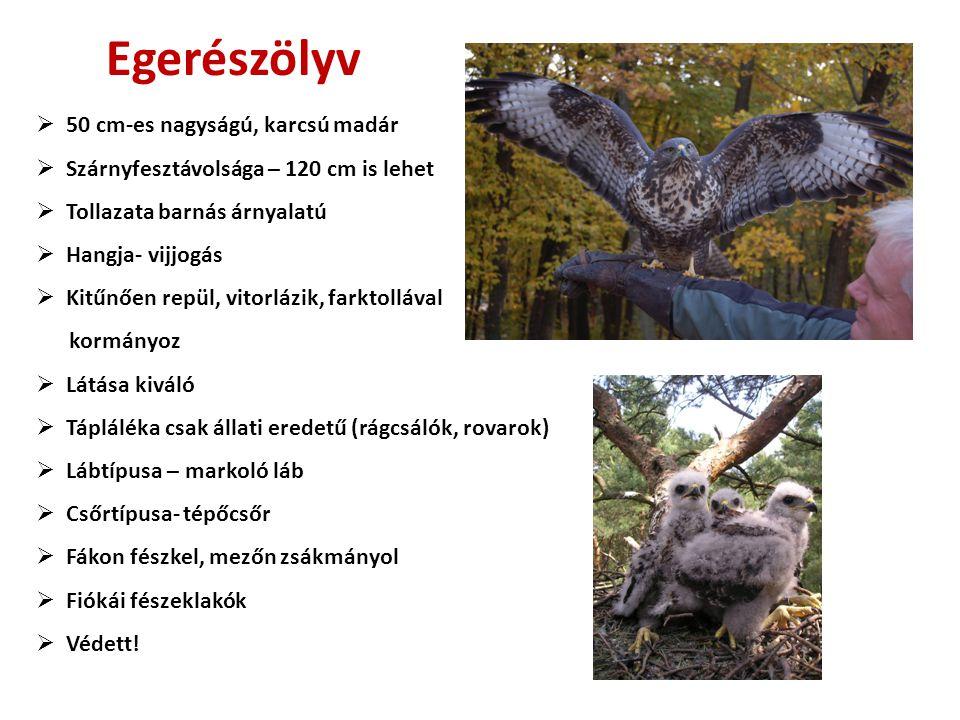 Egerészölyv  50 cm-es nagyságú, karcsú madár  Szárnyfesztávolsága – 120 cm is lehet  Tollazata barnás árnyalatú  Hangja- vijjogás  Kitűnően repül