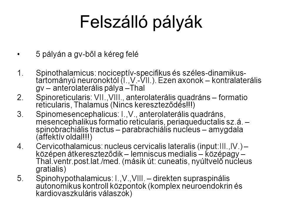 Felszálló pályák 5 pályán a gv-ből a kéreg felé 1.Spinothalamicus: nociceptív-specifikus és széles-dinamikus- tartományú neuronoktól (I.,V.-VII.). Eze