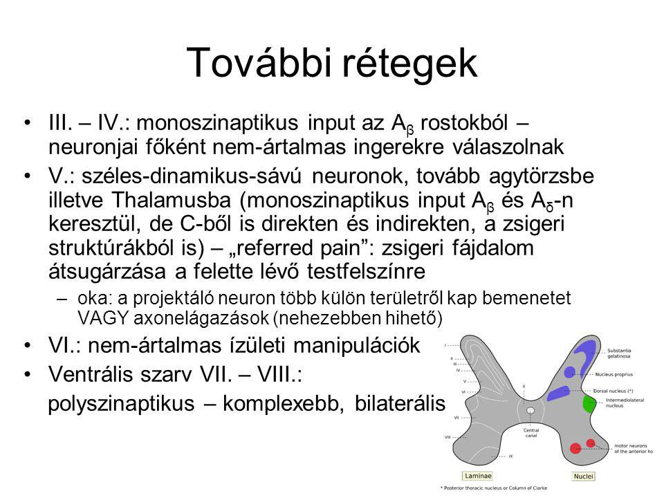További rétegek III. – IV.: monoszinaptikus input az A β rostokból – neuronjai főként nem-ártalmas ingerekre válaszolnak V.: széles-dinamikus-sávú neu