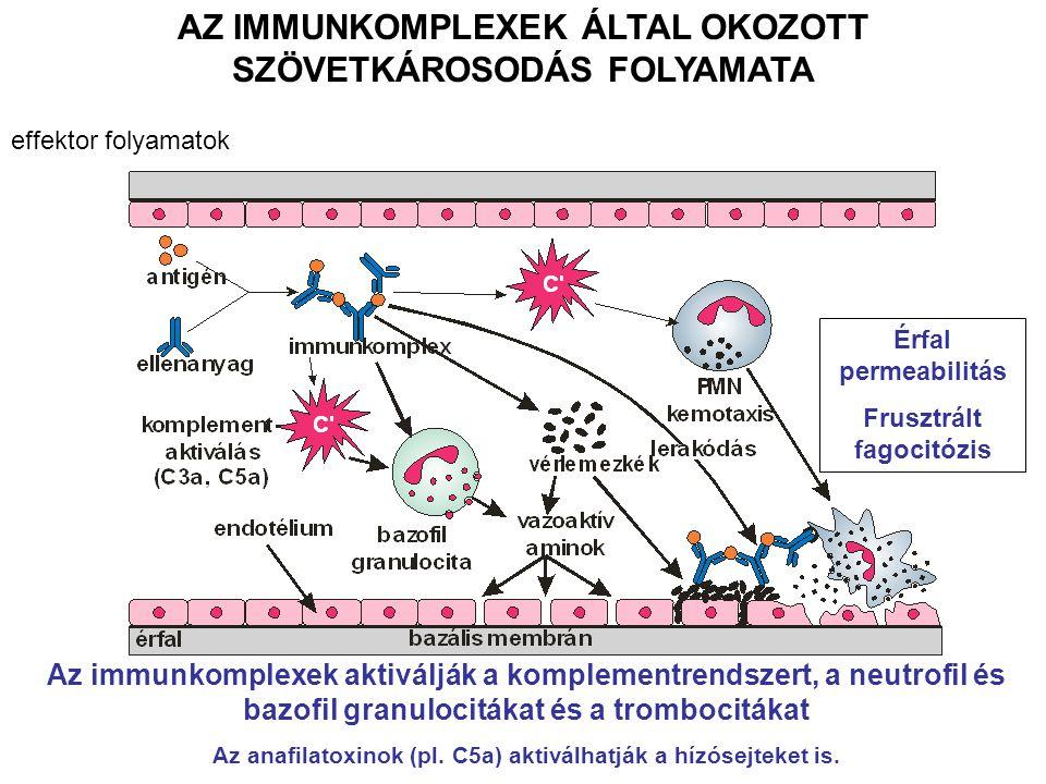 AZ IMMUNKOMPLEXEK ÁLTAL OKOZOTT SZÖVETKÁROSODÁS FOLYAMATA Az immunkomplexek aktiválják a komplementrendszert, a neutrofil és bazofil granulocitákat és a trombocitákat Az anafilatoxinok (pl.